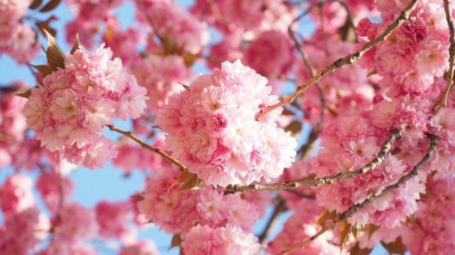 天平の花祭りの見頃