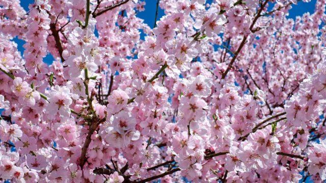 天平の花祭りの駐車場