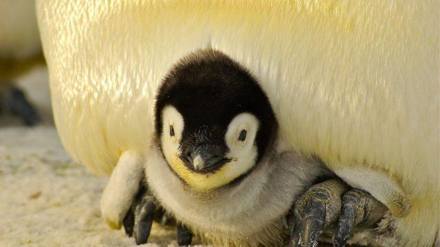 ペンギン博士ちゃん